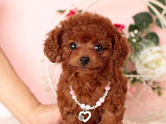 トイプードルのモデル犬