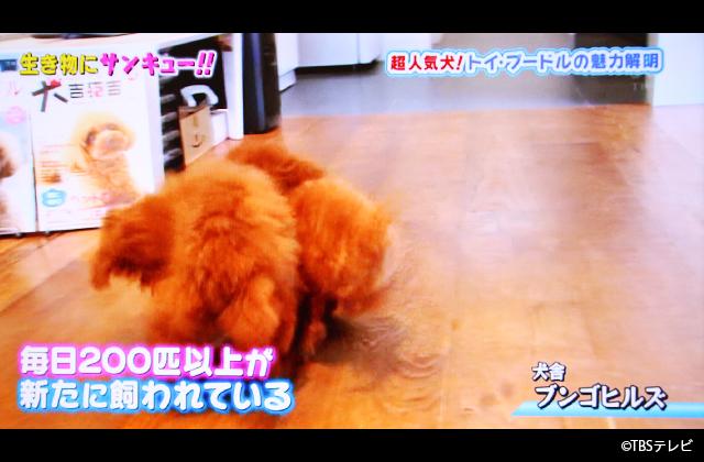 トイプードル タレント犬