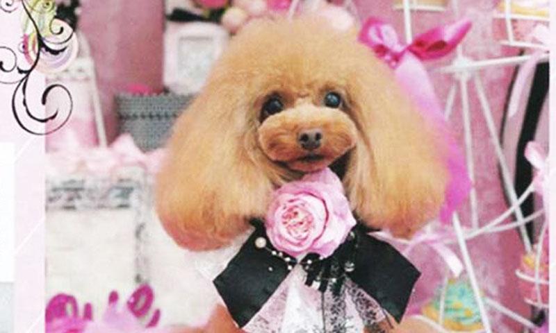 トイプードル モデルとして雑誌掲載 モデル犬