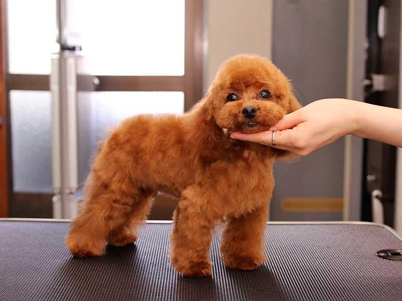 トイプードル 子犬