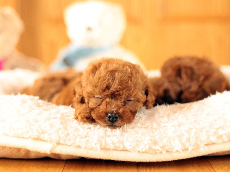 ティーカッププードルの赤ちゃんの寝顔