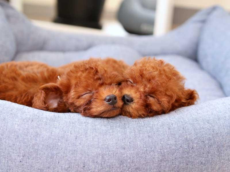 ティーカッププードルの寝顔