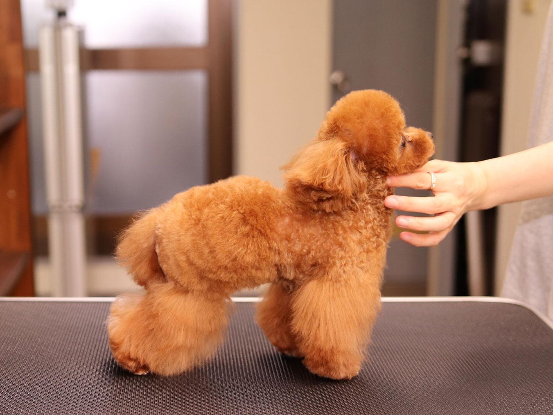 マイクロティーカッププードルのモデル犬