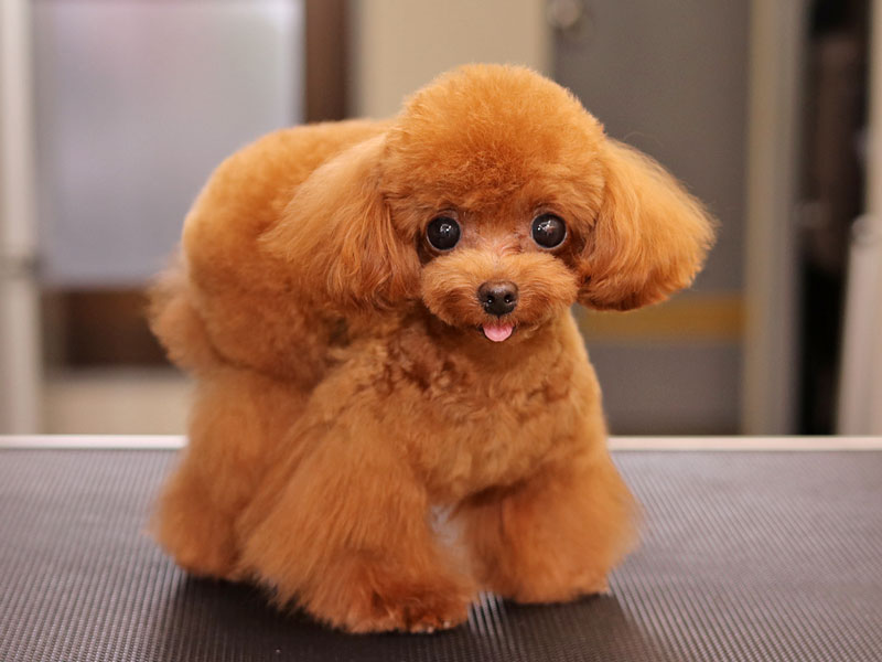 おパンツカットのトイプードルのモデル犬