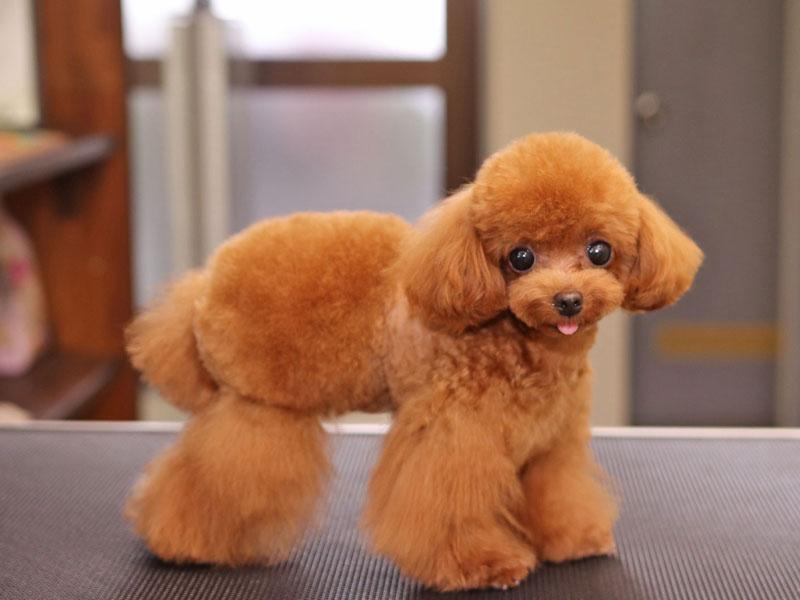 おパンツカットのティーカッププードルのトリミングモデル犬