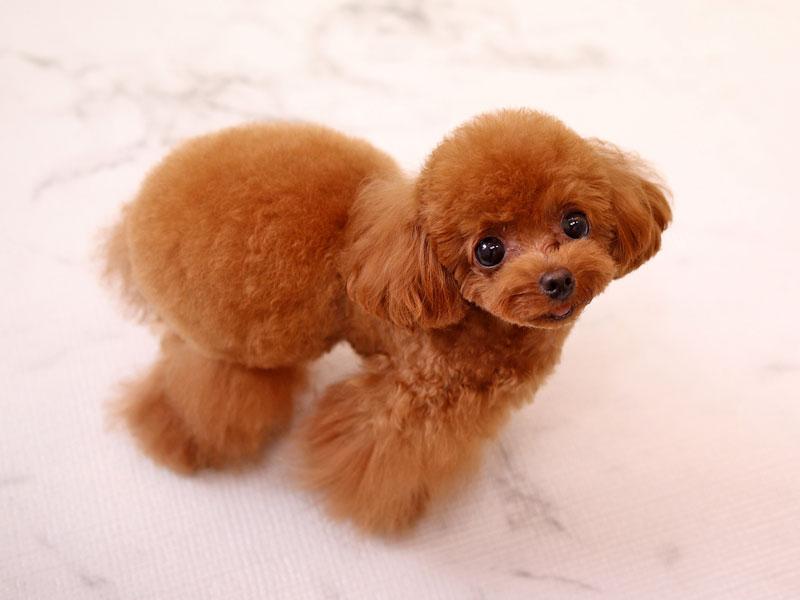 おパンツカット(デザインカット)のトイプードルのモデル犬