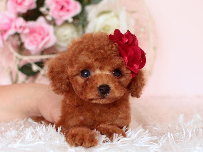 マイクロティーカッププードルの子犬
