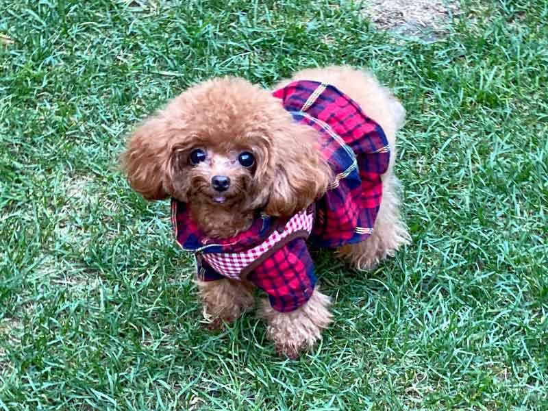ティーカッププードルのモデル犬