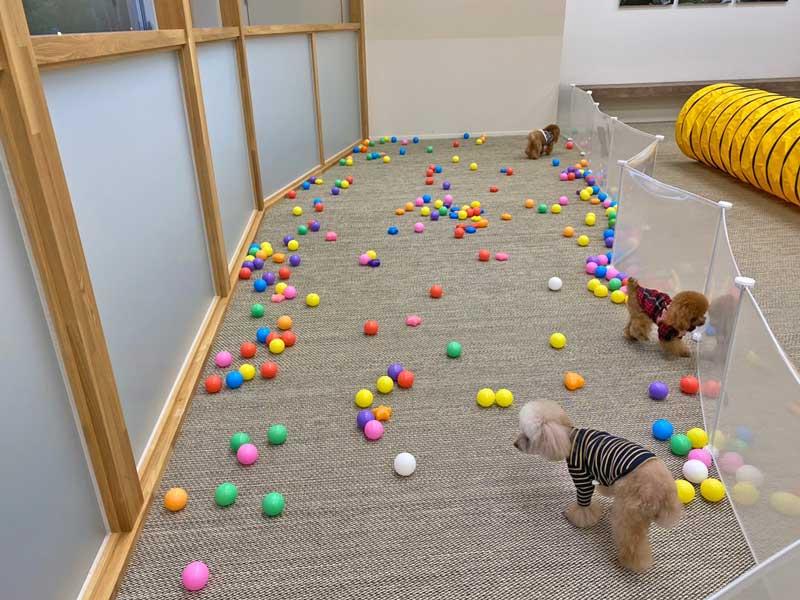 蓼科ホテルwith dogの室内で遊ぶトイプードルとティーカッププードル