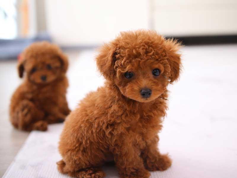 モデル犬のトイプードルとマイクロティーカッププードルの子犬