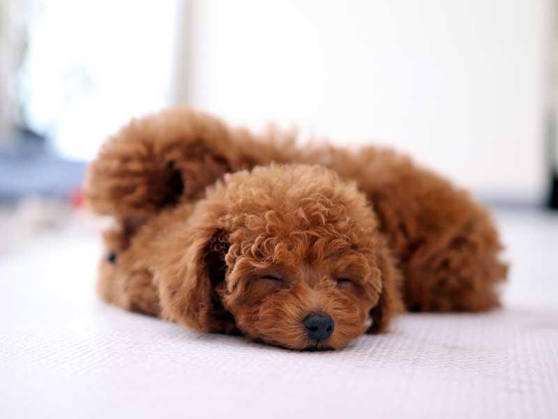 トイプードルの子犬の寝顔