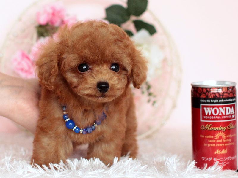 マイクロティーカッププードル 子犬