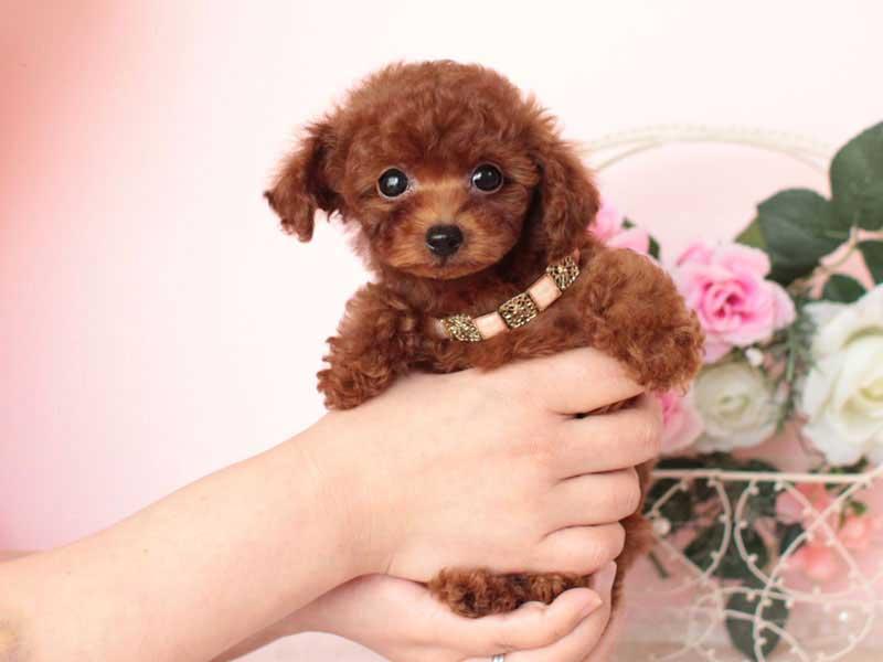 ティーカッププードル モデル犬