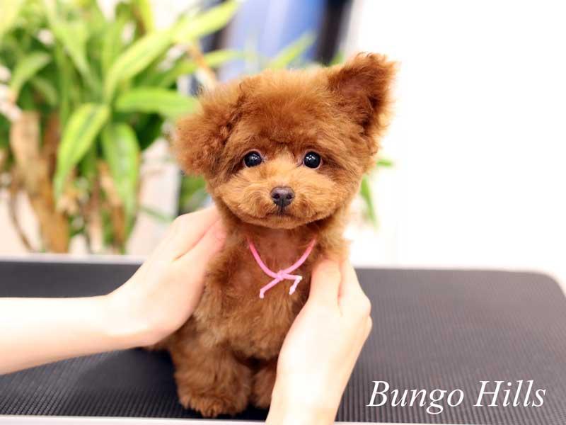 マイクロティーカッププードル モデル 子犬