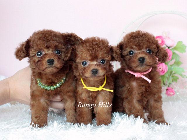 マイクロティーカッププードルとティーカッププードルとトイプードル 子犬