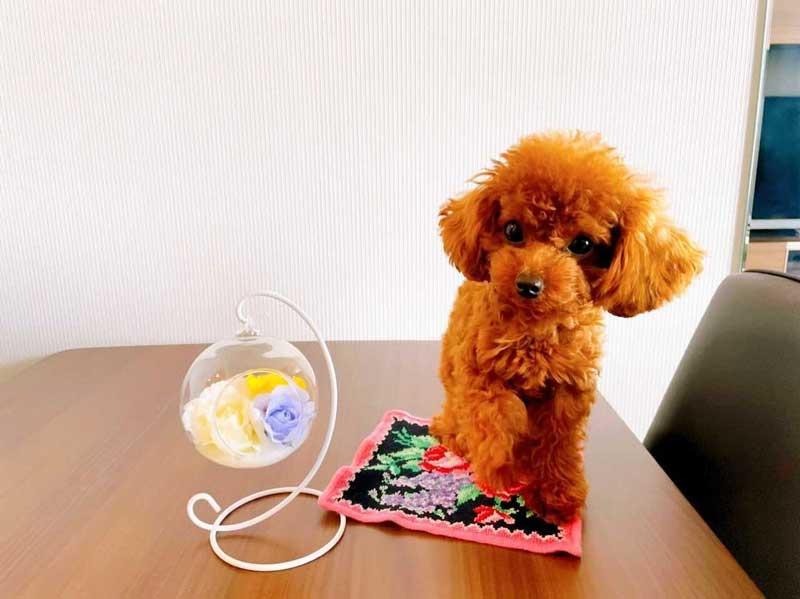 マイクロティーカッププードル 成犬
