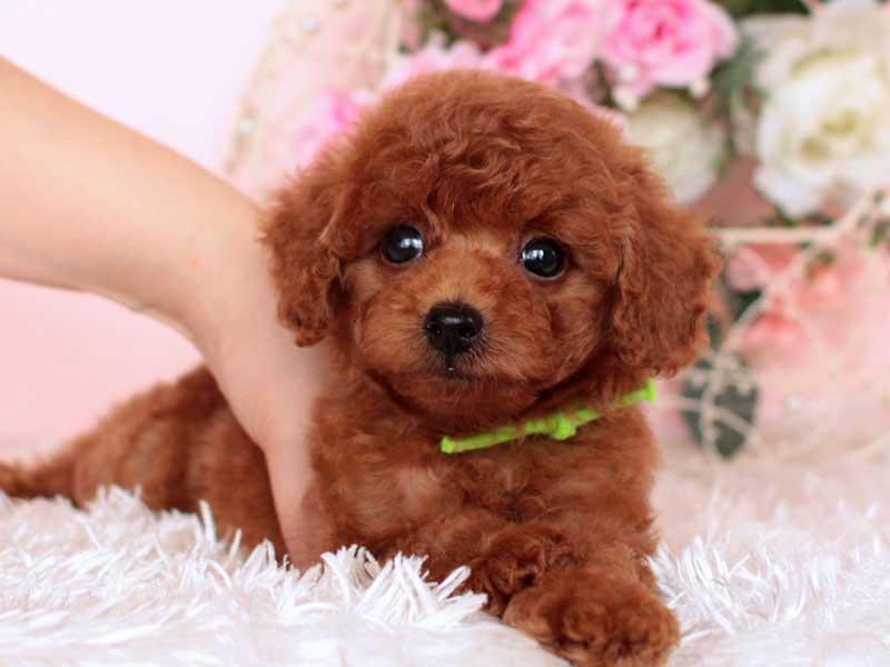 タイニープードル 子犬