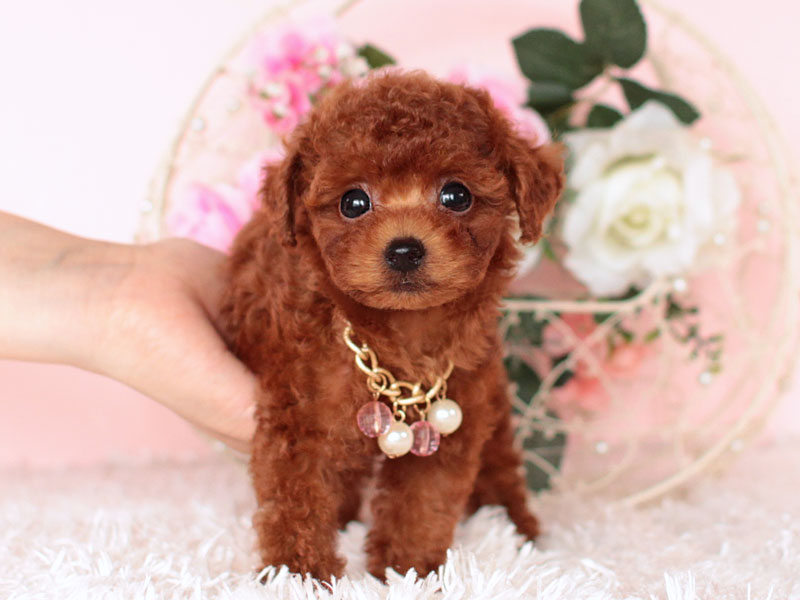 ロイヤルティーカッププードル 子犬